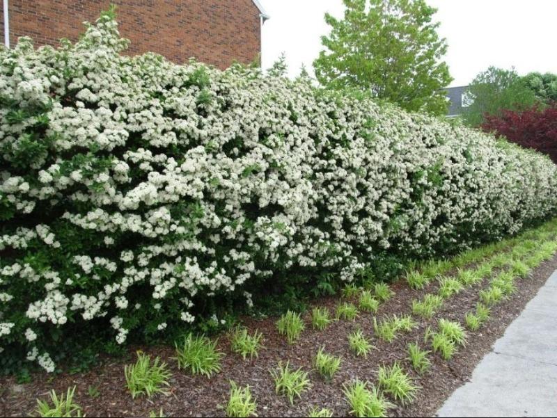 Живая изгородь из каких растений защитит участок от холодных ветров