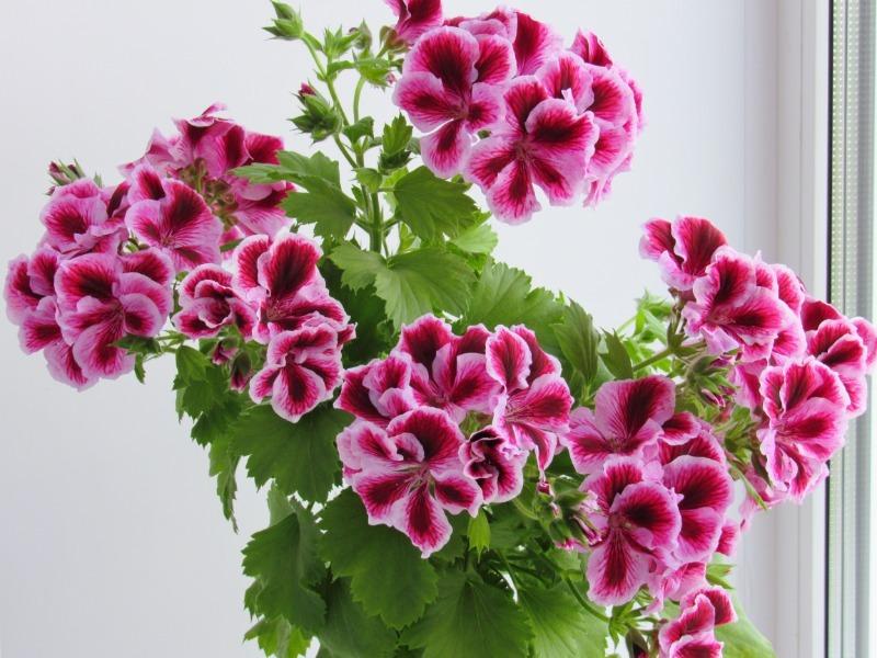 7 комнатных цветов подойдут всем, кто любит постоянно проветривать помещения